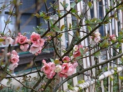 3庭のリンゴの花P.jpg
